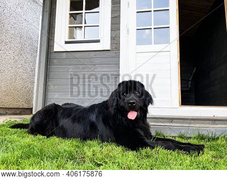 Purebread Newfoundland Black Dog Lies In The Grass Outside With The Tongue Out And A Log Cabin Behin
