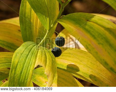 Polygonatum Odoratum (angular Solomon\'s Seal) With Fruits In A Mixed Forest.