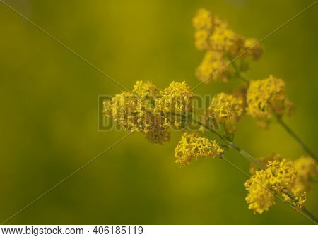 Solidago, Commonly Called Goldenrod. Yellow-green Blurred Background With Yellow Wildflowers. Perenn