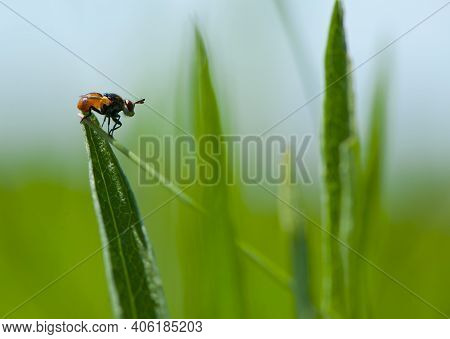 Close-up Of A Fly Sitting On Green Grass. Orange Fly Sits On A Leaf Of Grass, Side View, Macro Photo