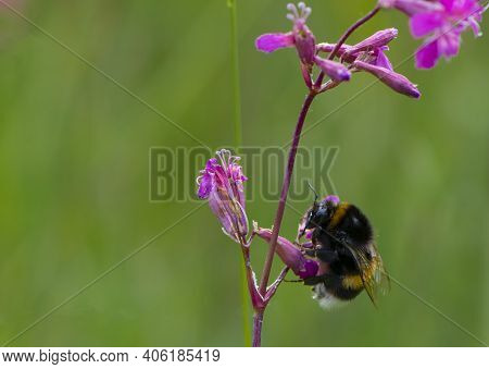 Bumblebee Sits On A Wildflower Viscaria Vulgaris. Delicate Summer Green Background With Flowers And