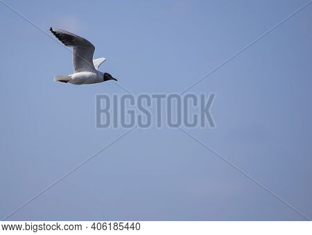 Beautiful Seagull Flies In The Sky. Seagull In The Blue Sky Clouds. Large Ivory Seagull Flying In Th