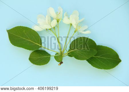 White Flowers And Green Leaves Of Apple Tree On A Blue Background, Template For Your Design, Natural