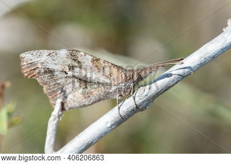 An American Snout Butterfly Perched On A Branch In The Lrgv.