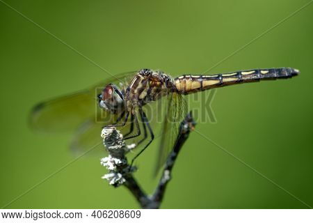 A Blue Dasher Dragonfly Perched On A Berry On A Bush.