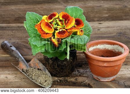 Replanting Of Flower Calceolaria Biflora On Brown Wooden Table.  Also Called Slipper Flower, Native