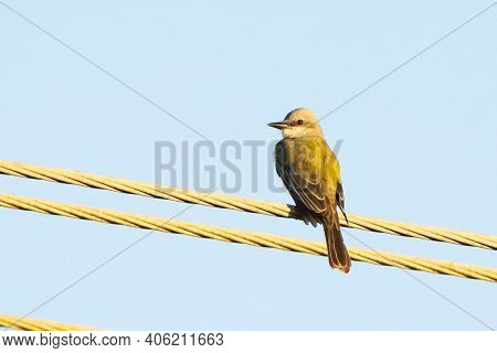 A Couch's Kingbird Perched On A Wire In The Early Morning.