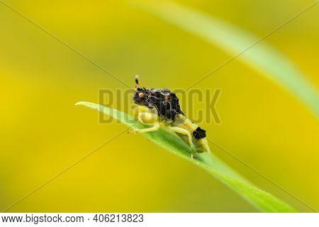A Jagged Ambush Bug Perched On A Goldenrod Leaf Waiting For Prey.