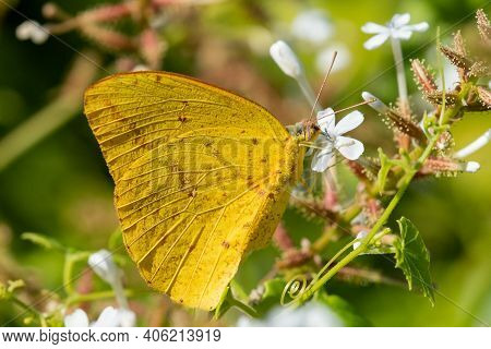 A Large Orange Sulphur Feeding From A Wildflower At The National Butterfly Center.