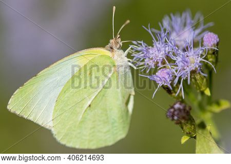A Lyside Sulphur Butterfly Feeding From A Wildflower At The National Butterfly Center.