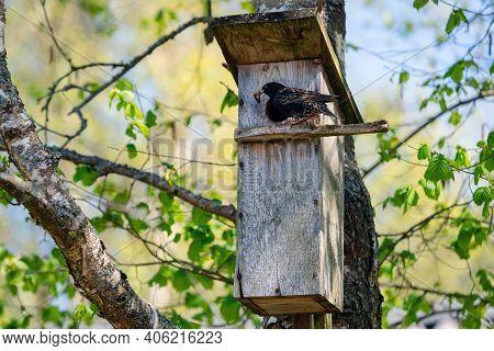 Starling Bird ( Sturnus Vulgaris ) Bringing Worm To The Wooden Nest Box In The Tree. Bird Feeding Ki
