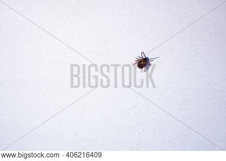 Mature American Dog Tick Crawling On White Background. These Arachnids A Most Active In Spring And C