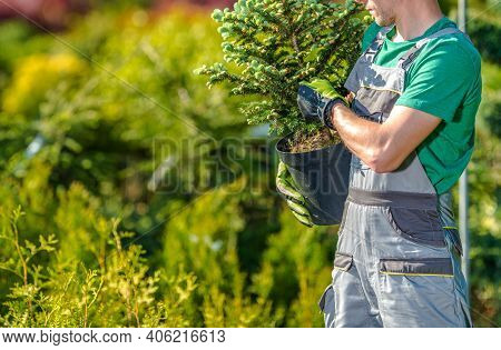 Garden Worker With Small Spruce Tree In His Hands. Purchasing New Plants And Trees In Garden Departm