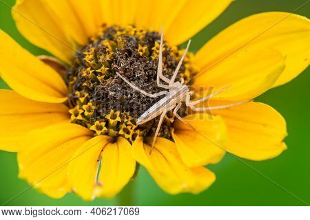 An Oblong Running Crab Spider On A Blacl-eyed Susan Wildflower Waiting For Prey.