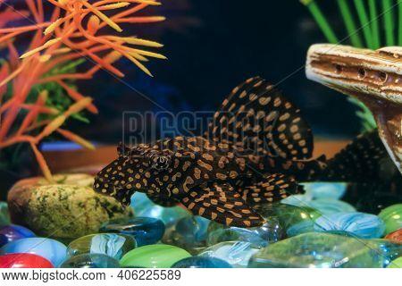 Sucker Cleaner Ancistrus Fish In Aquarium. Female Catfish Close-up.