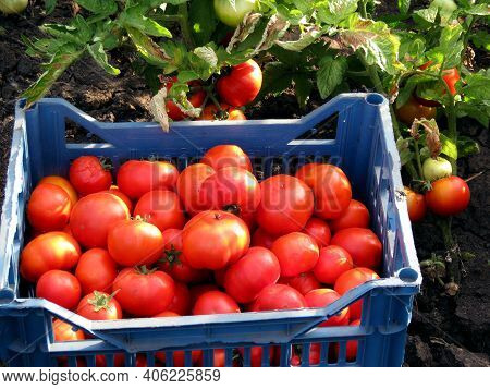 Brandywine Pink Tomatoes Box Basket Harvest Background. Fresh Organic Pink Tomatoes Fruit In Farm Ga