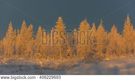 Against The Background Of A Blue Sky, A Group Of Trees In A Winter Taiga Forest Covered With Snow. F