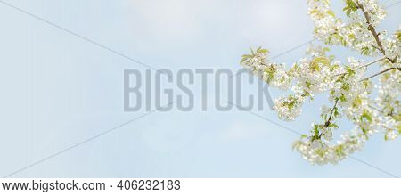Beginning Of Spring Blooming Downy Cherry Buds White Colors Light Banner
