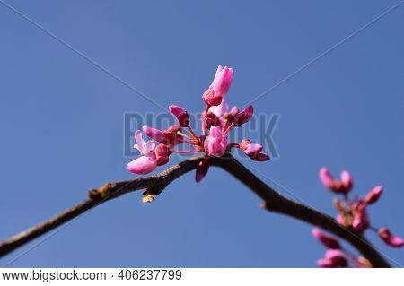 Eastern Redbud Lavender Twist - Latin Name - Cercis Canadensis Lavender Twist