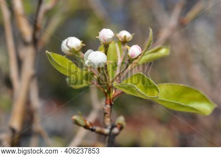 Pear Tree Red Williams Flower Buds - Latin Name - Pyrus Communis Red Williams