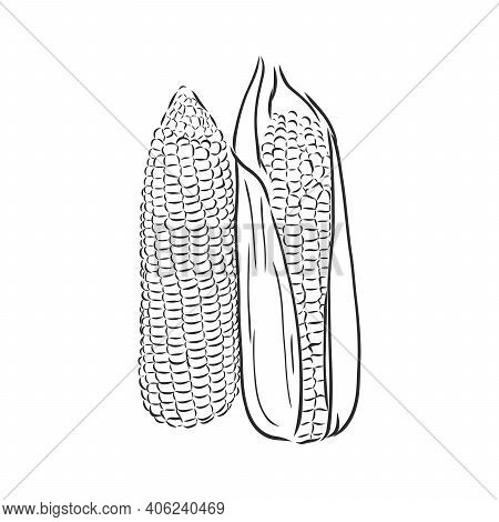 Corn, Maize Or Zea Mays, Vintage Engraving. Monochrome Illustration With Corn On A Light Background.