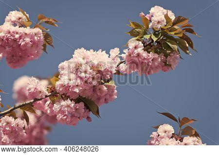 Spring Vacation. Botanical Garden Concept. Tender Bloom. Aroma And Fragrance. Spring Season. Tendern