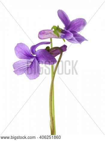 Two flower of Wood Violet (Viola Odorata) isolated on white background. Shallow depth of field. Selective focus