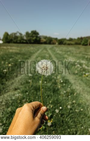 Holding Fluffy Dandelion On A Spring Meadow.natural Green Spring Background.fragile Dandelion Feathe