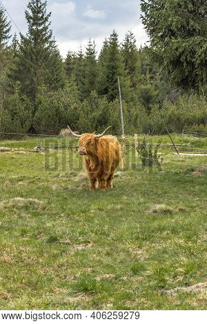 Close Up Of Highland Cattle In Field.highland Cow In A Pasture Looking At The Camera.hairy Yak In Th