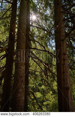 Pacific Northwest Tall Trees In Forest. Tall Trees In A Lush Temperate Rainforest Of The Pacific Nor