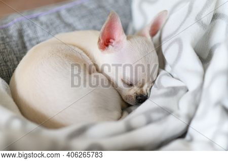 A Small White Dog Sleeps Curled Up On A Blanket. Chihuahua Puppy.