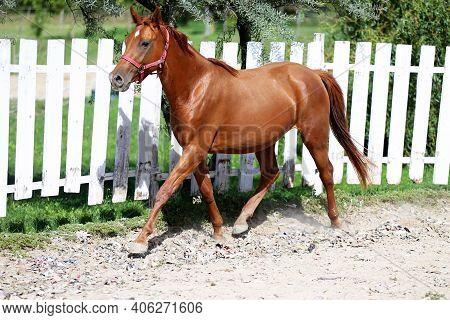 Close Up Of A Young Chestnut Horse In Round Pen. Chestnut Runs Around-around In Summer Corral