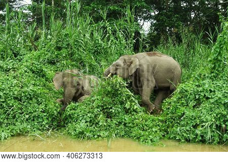 Two Elephants Vying For Space On The Banks Of The Borneo River