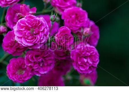 Rosa Elmshorn - Rich Magenta-pink Roses By Kordes, Closeup