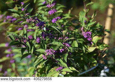 Callicarpa Dichotoma Berries In Autumn  / Lamiaceae Deciduous Tree