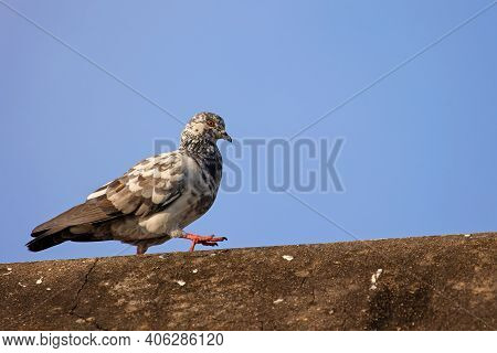 Close Up Rock Pigeon Walking On The Roof Isolated On Blue Sky