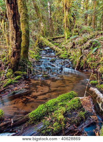 Mossy Trees Of Squamish
