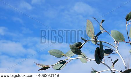 Eucalyptus Pulverulenta Shrub With Exotic  Silvery Grey Round Leaves On Branches On Blue Sky Backgro