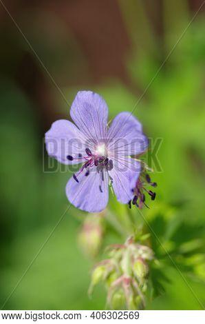 Meadow Geranium, Lat. Geranium Pratense, Close Up