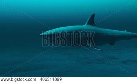Closeup Of Great White Shark Swimming In The Deep Blue Ocean Water, Underwater Scene Of White Shark,