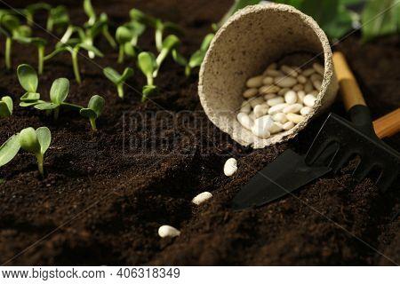 Peat Pot With White Beans, Gardening Tools On Fertile Soil. Vegetable Seeds