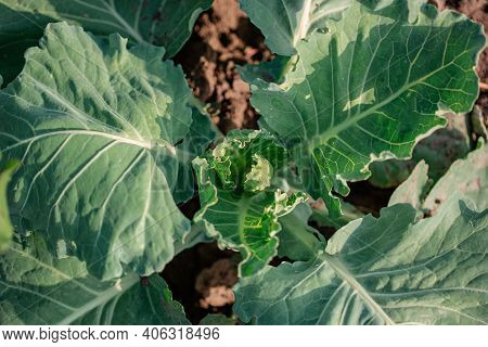Growing Green Cabbage In The Open Field, Organic Growing Vegetables. Green Cabbage Plant Grows In Th