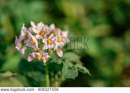 Potato Flowers Blossom In Sunlight Grow In Plant. White Blooming Potato Flower On Farm Field. Close