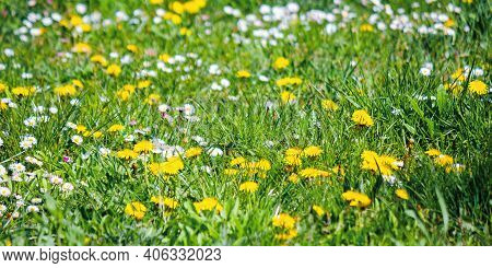 Yellow Dandelions Among The Grass. Beautiful Springtime Nature Background. Shallow Depth Of Field