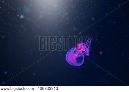Jellyfish Underwater. Blue Blubber Jellyfish Catostylus Mosaicus Floating In Deep Blue Water. Underw