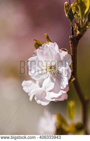 Branches Sakura With Blossoms On Tree In Streets In The City. Tree With Flowers In Spring In White A