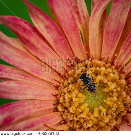 Macro Image Of A Small Black Bee Siting On A Flower And Pollinating