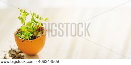 Seedling Plant In Eggshell On Wooden Background With Sunlight, Eco Gardening, Reuse, Sustainable Liv