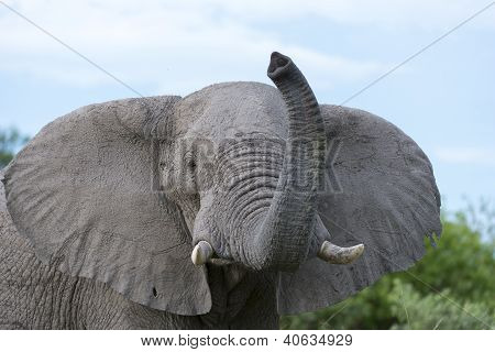 An African elephant raising his trunk and sniffing the air. The photo was taken during a Safari trip in the Okavango Delta of Botswana poster
