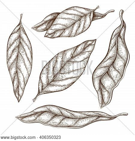 Hand Drawn Bay Leaves Vector Illustration Isolated On White. Sketch Of Dry Bay Leaf Set. Vintage Eng